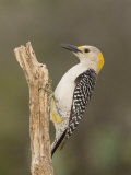 Golden-Fronted Woodpecker, Melanerpes Aurifons, Female, Texas, USA Photographic Print by John Cornell