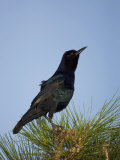 Boat-Tailed Grackle (Quiscalus Major) Photographie par John Cornell