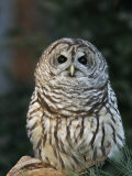 Barred Owl Photographic Print by John Cornell