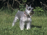 Miniature Schnauzer Variety of Domestic Dog Photographic Print by Cheryl Ertelt