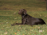 German Short-Haired Pointer Variety of Domestic Dog Photographic Print by Cheryl Ertelt