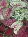 Caladium Leaf Variety Photographic Print by David Cavagnaro