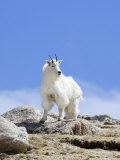 Mountain Goat (Oreamnos Americanus), Colorado, USA Photographic Print by John Cornell