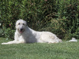 Irish Wolfhound Breed of Domestic Dog Photographic Print by Cheryl Ertelt