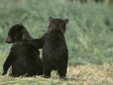 Brown Bear Cubs (Ursus Arctos) in Alaska Photographic Print by Tom Walker