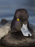 Lesser Scaup Head, Aytha Affinis, North America Photographic Print by John Cornell