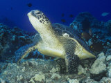 A Green Sea Turtle (Chelonia Mydas) on a Coral Reef, Kona Coast, Big Island, Hawaii, USA Photographic Print by Richard Herrmann