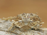 Texas Horned Lizard on a Log, Phrynosoma, Texas, USA Photographic Print by Arthur Morris
