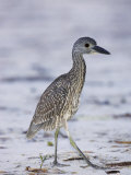 Juvenile Yellow-Crowned Night Heron, Nyctanassa Violacea, USA Photographic Print by John Cornell