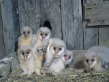 Barn Owl (Tyto Alba) Nestlings or Owlets in a Nest in a Barn, a Threatened Species, North America Fotoprint van Steve Maslowski