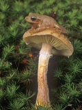 Spring Peeper on a Honey Mushroom Among Mosses on the Forest Floor., Hyla Crucifer, Eastern USA Lmina fotogrfica por Gary Meszaros