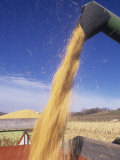 Loading Harvested Corn into a Truck (Zea Mays) Photographic Print by David Cavagnaro