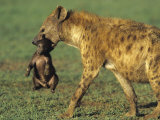 Spotted Hyena, Crocuta Crocuta, Mother Carrying a Cub in its Mouth, East Africa Photographic Print by Joe McDonald