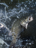 Smallmouth Bass with Spinnerbait Lámina fotográfica por Wally Eberhart