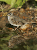 Lincoln's Sparrow at a Watering Hole, Melospiza Lincolnii, Texas, USA Photographie par John Cornell
