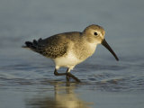 Dunlin, Calidris Alpina, Foraging, Non-Breeding Plumage, Florida, USA Photographic Print by John Cornell