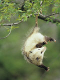An Opossum Hangs by its Tail in Black Cherry Tree. Ohio, USA Photographic Print by Steve Maslowski