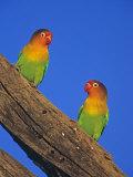 Fischer's Lovebirds, Agapornis Fischeri, . Serengeti, Tanzania Photographie par Joe McDonald
