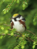 Male Chestnut-Sided Warbler in Breeding Plumage, Dendoica Pennsylvanica, . USA Papier Photo par Adam Jones