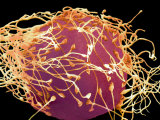 Human Sperm Fertilizing an Egg Photographic Print by David Phillips
