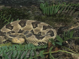 Timber Rattlesnake Coiled, Crotalus Horridus, Showing the Loreal Pits, North America Photographic Print by Joe McDonald