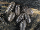 Pill Bugs or Sow Bugs, Armadillidium Vulgare, Common Terrestrial Crustaceans. Eastern USA Photographic Print by Bill Beatty