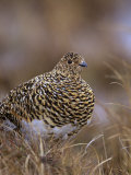 Female Willow Ptarmigan in Summer, Lagopus Lagopus, Canada Reproduction photographique par Arthur Morris