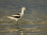 American Avocet Wading in Water, Recurvirostra Americana, USA Photographic Print by John Cornell
