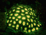 Fluorescing Hard Coral. Komodo National Park, Indian Ocean Photographic Print by Reinhard Dirscherl