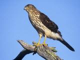 Immature Cooper's Hawk, Accipiter Cooperii, North America Photographic Print by Arthur Morris