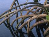 G. Brad Lewis - Mangrove Roots, Kapoho Hawaii, USA Fotografická reprodukce