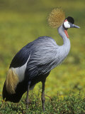 Gray-Crowned Crane, Balearica Regulorum, East Africa Photographic Print by Joe McDonald