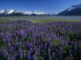 Lupines in Bloom and the Kenai Mountains, Kenai National Wildlife Refuge, Alaska, USA Photographic Print by Adam Jones