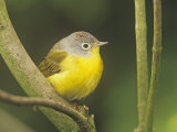 Nashville Warbler, Vermivora Ruficapilla, . Eastern USA Photographic Print by Adam Jones