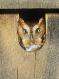 Eastern Screech Owl in a Nest Box (Otus Asio), Eastern North America Photographic Print by Steve Maslowski