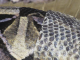 Close-Up of a Gaboon Viper Shedding its Skin, Bitis Gabonica, East Africa Photographic Print by Jim Merli