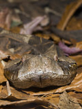 Gaboon Viper Head (Bitis Gabonica), Gabon Photographic Print by Reinhard Dirscherl