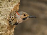 Male Northern Flicker Peering from its Nest Hole in a Tree Trunk, Colaptes Auratus, USA Photographic Print by John Cornell