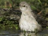 Northern Mockingbird Bathing in Water, Mimus Polyglottos, North America Photographic Print by John Cornell