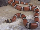 Big Bend Milk Snake, Lampropeltis Triangulum Celaenops, Texas and Mexico Photographic Print by Gerold & Cynthia Merker