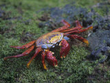 Sally Lightfoot Crab, Grapsus Grapsus, Galapagos Islands, Ecuador Photographic Print by John & Barbara Gerlach