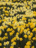 Adam Jones - Pattern of Narcissus Flowers, Narcissus Pseudonarcissus, Louisville, Kentucky, USA - Fotografik Baskı