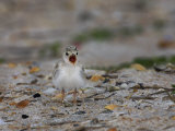 Least Tern, Sterna Antillarum, Chick Calling, USA Photographic Print by John Cornell