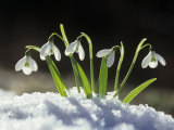 Snowdrop Flowers Blooming in the Snow, Galanthus Nivalis Lámina fotográfica por David Cavagnaro