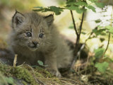 Canada Lynx Kitten, Lynx Canadensis, North America Photographic Print by Joe McDonald