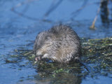 Muskrat Feeding in a Pond (Ondatra Zibethicus), North America Photographic Print by Tom Ulrich