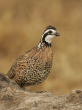 Northern Bobwhite, Colinus Virginianus, Male, Eastern USA Photographic Print by John Cornell