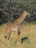 Baby Masai Giraffe, Giraffa Camelopardalis, Masai Mara, Kenya, Africa Photographic Print by John & Barbara Gerlach