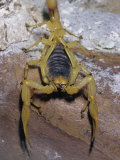 Giant Desert Hairy Scorpion (Hadrurus Arizonensis), Deserts of the Southwestern USA Photographic Print by Ken Lucas