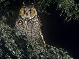 Long-Eared Owl, Asio Otus, North America Photographic Print by Joe McDonald